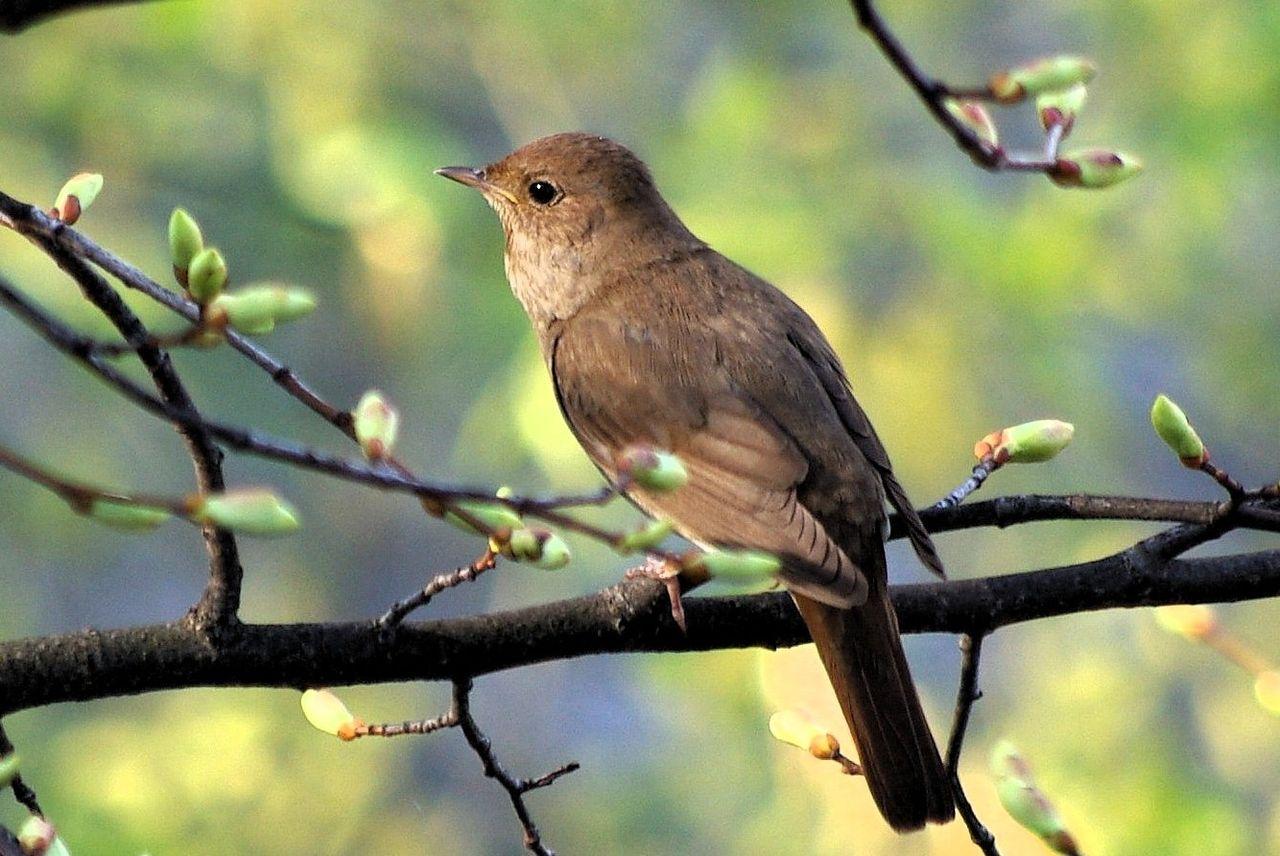 Privighetoarea de zăvoi… nu a vrut să stea la noi