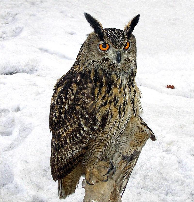 Buha – vânătorul nopţii